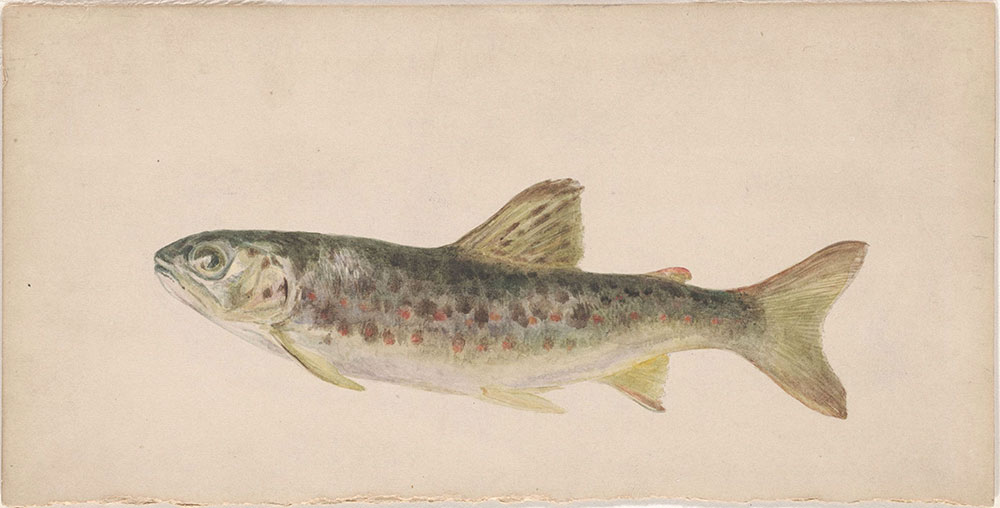 Watercolor of a trout