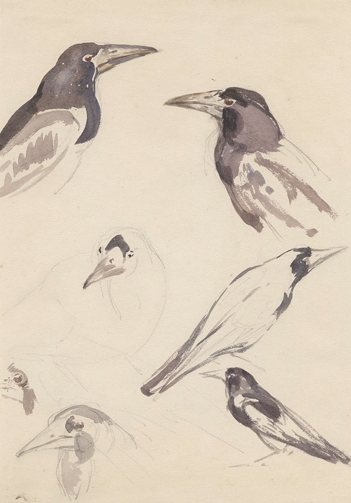 Pencil and watercolor studies of crows
