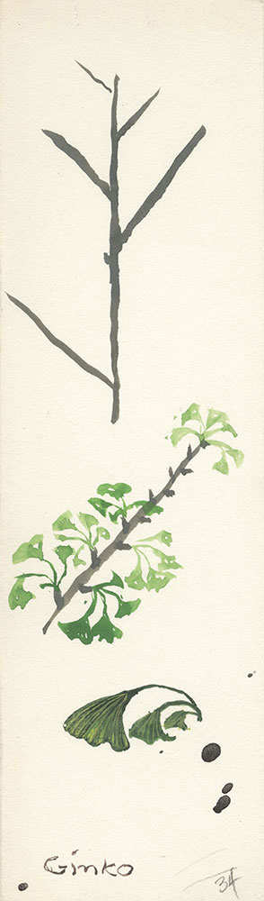 Sketch of gingko, for Life Story