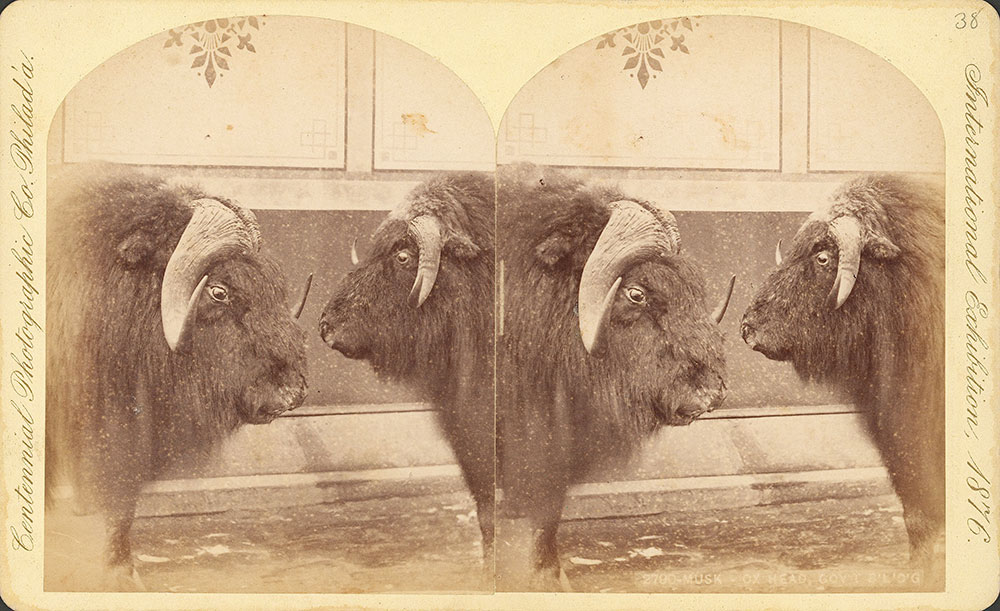 Musk ox-head--Government exhibit