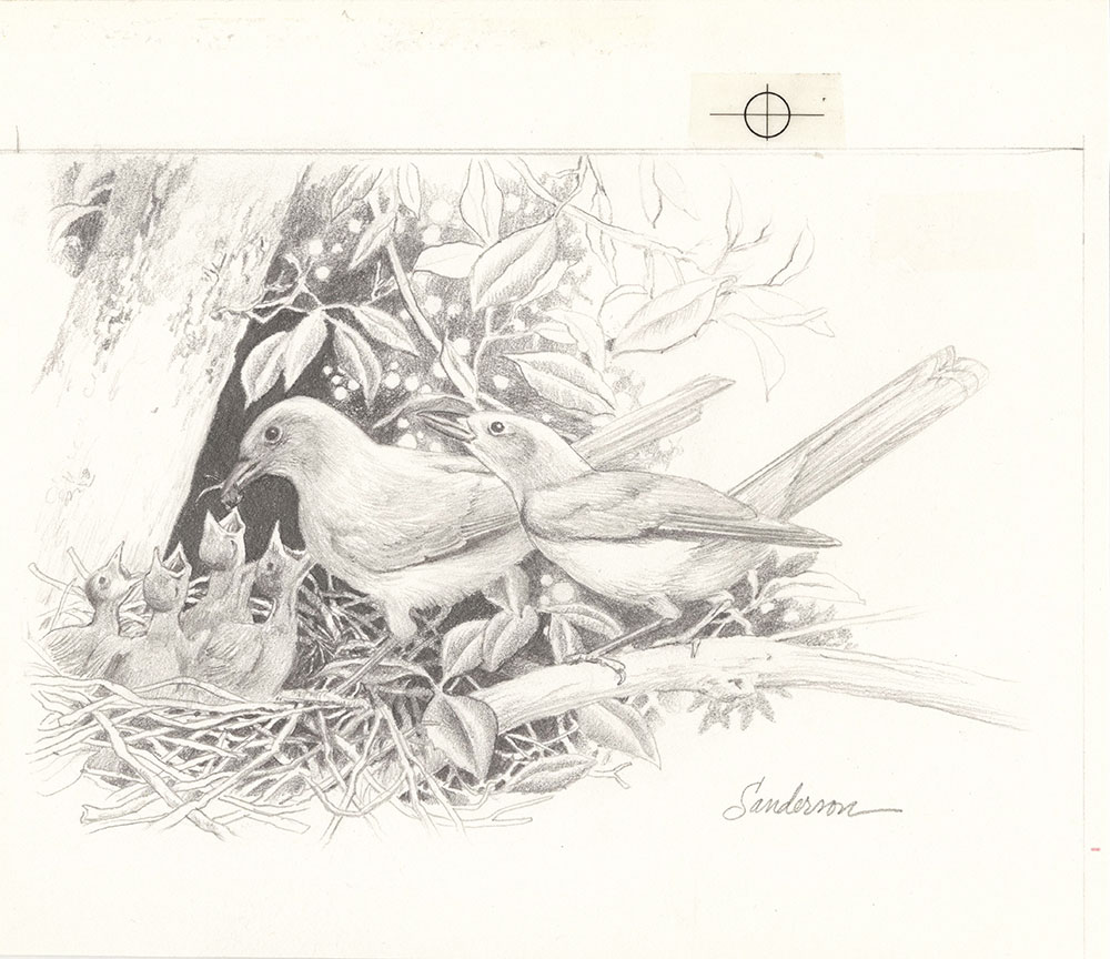 Sanderson - Five Nest - Page 21 - Mexican Jays