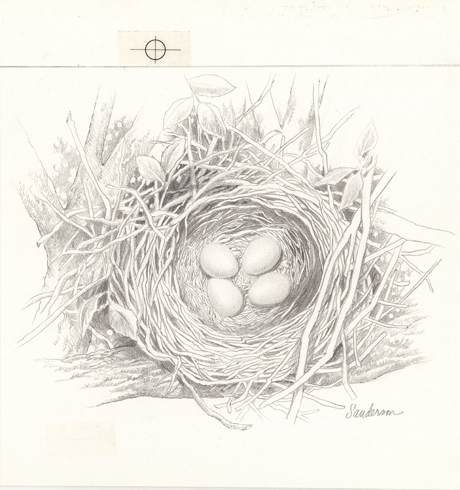 Sanderson - Five Nests - Page 4 - Nest with Eggs