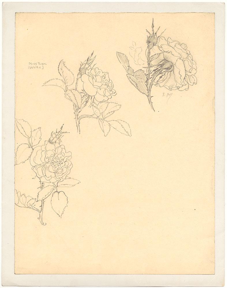 MacKinstry - Moss Rose (White)