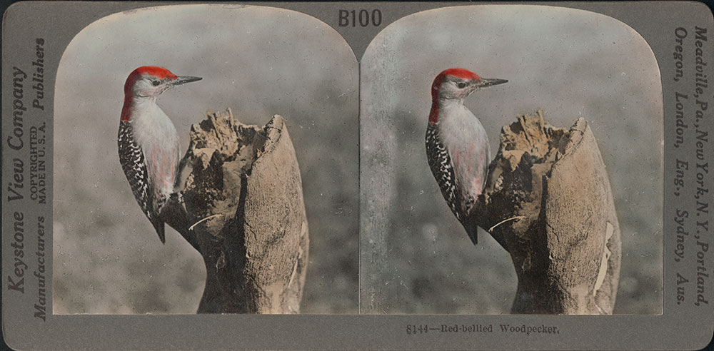 Stereoscope Card-Red Bellied Woodpecker