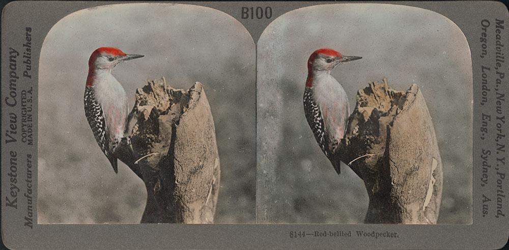 Stereoscope Card-Red Bellied Woodpecker