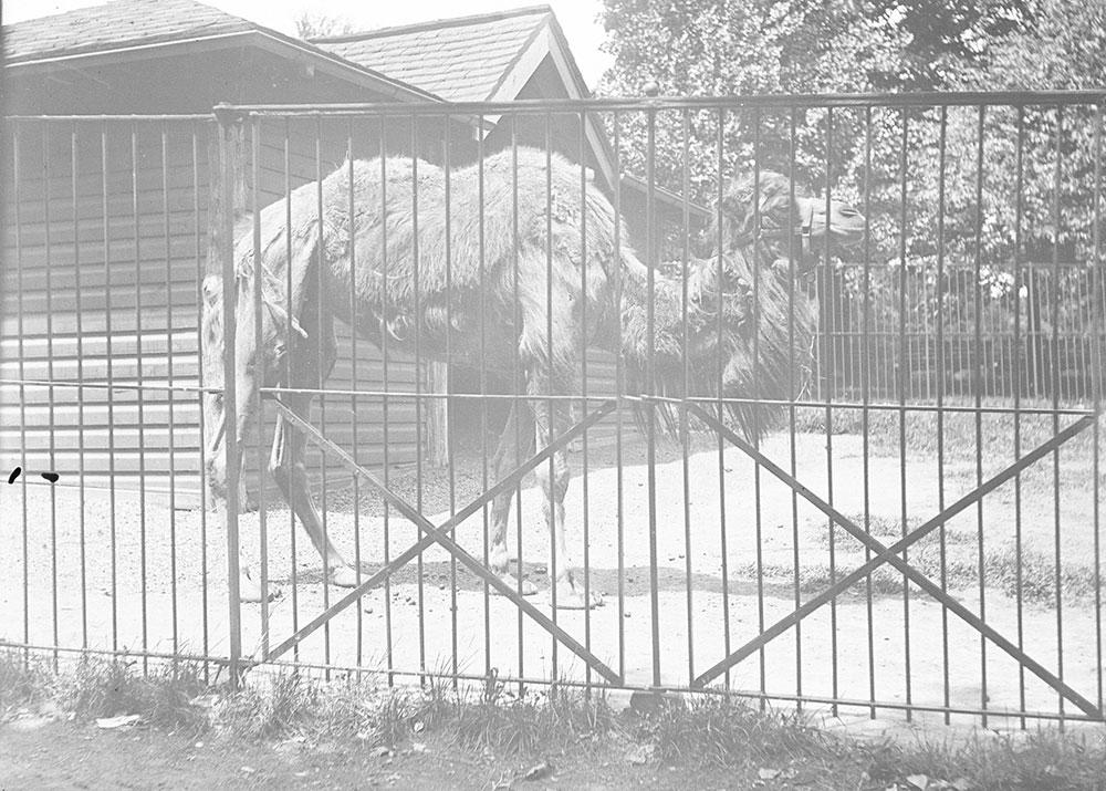 Two humped Camel, (Asia). Philadelphia Zoo