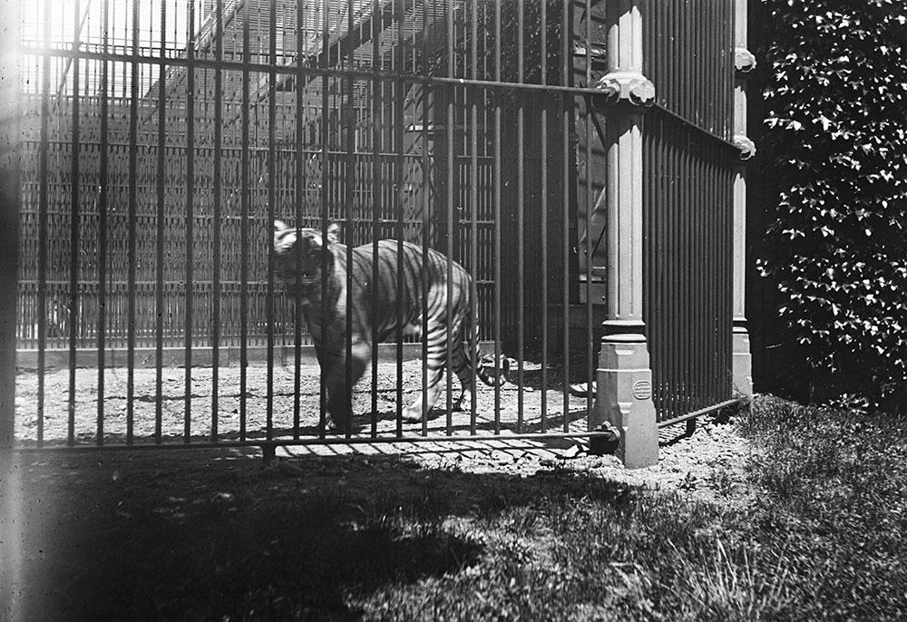 Tiger, Philadelphia Zoo