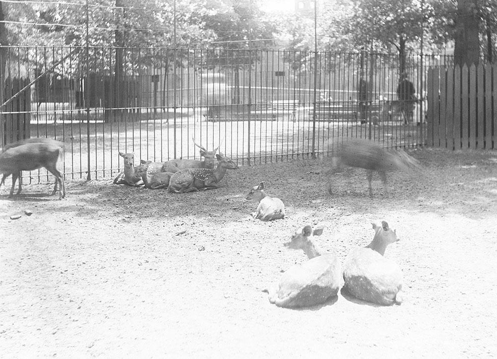 Deer, Philadelphia Zoo