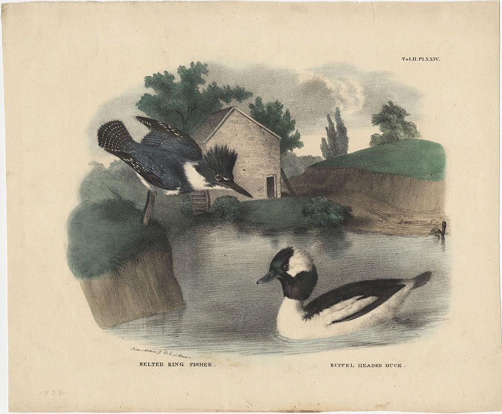 Belted King Fisher. Buffel Headed Duck.