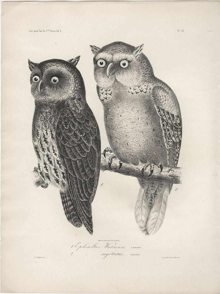 1. Ephialtes Watsonii, 2. (Ephialtes) sagittatus and Antrostomus Serico-caudatus