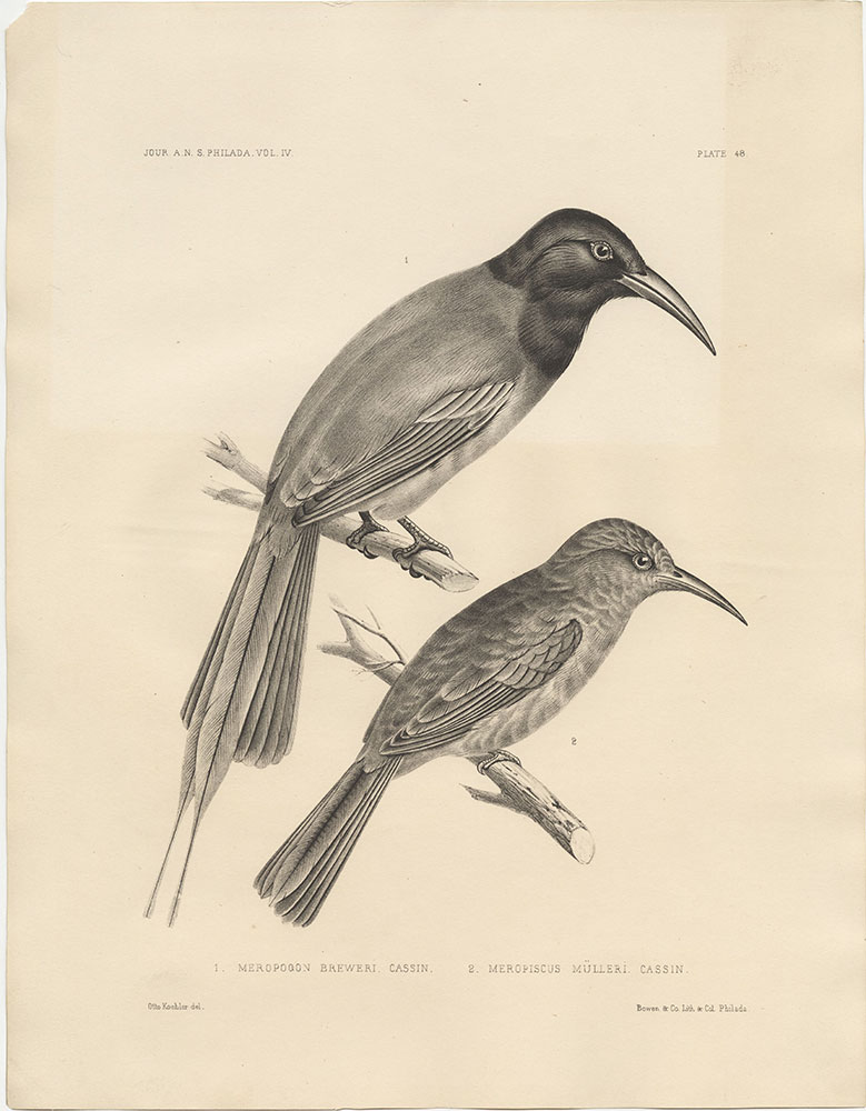 1. Meropogan Breweri and 2. Meropiscus Mulleri