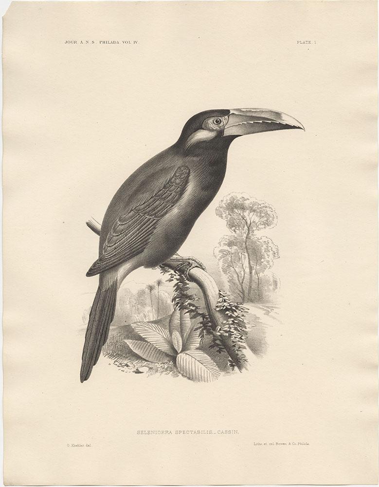 Selenidera Spectabilis