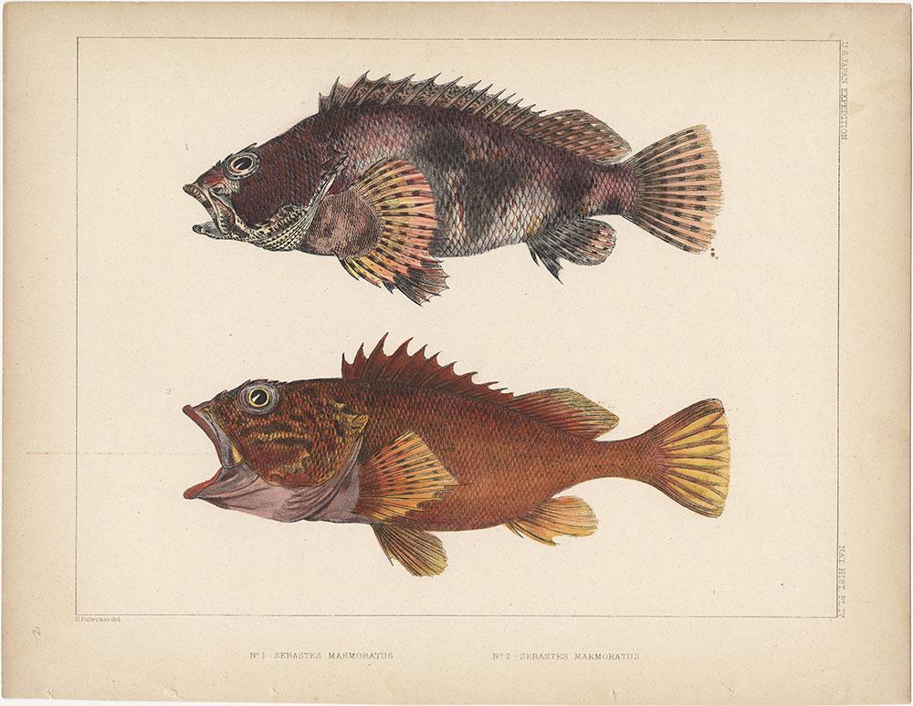 1. Sebastes Marmoratus and 2. Sebastes Marmoratus