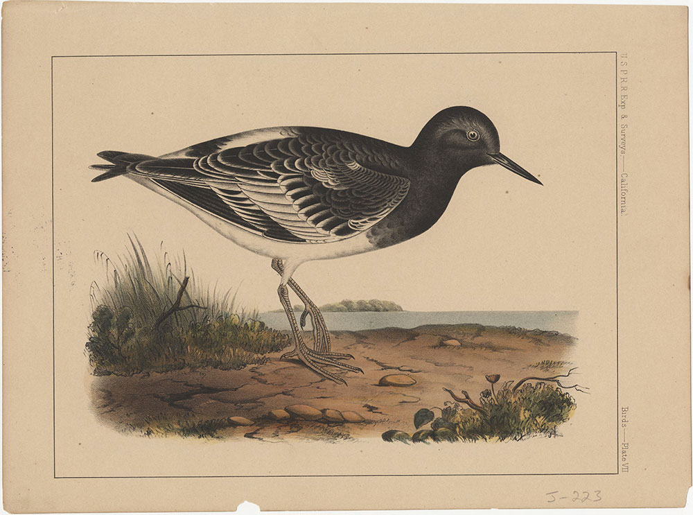 Birds, Plate VII