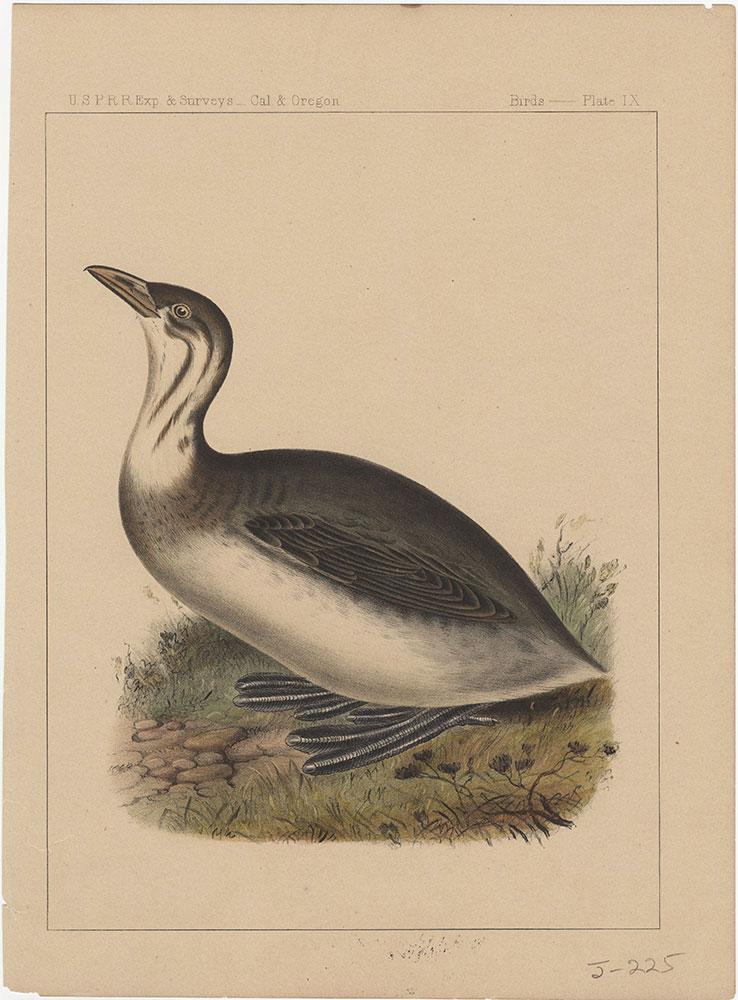 Birds, Plate IX