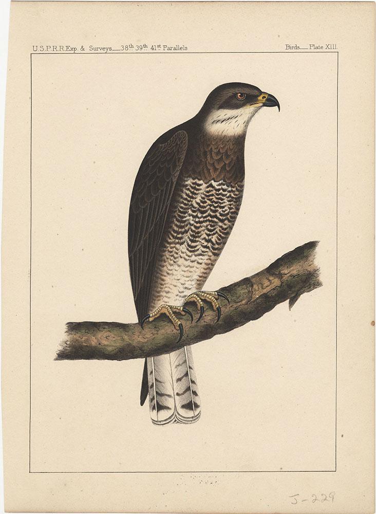 Birds, Plate XIII