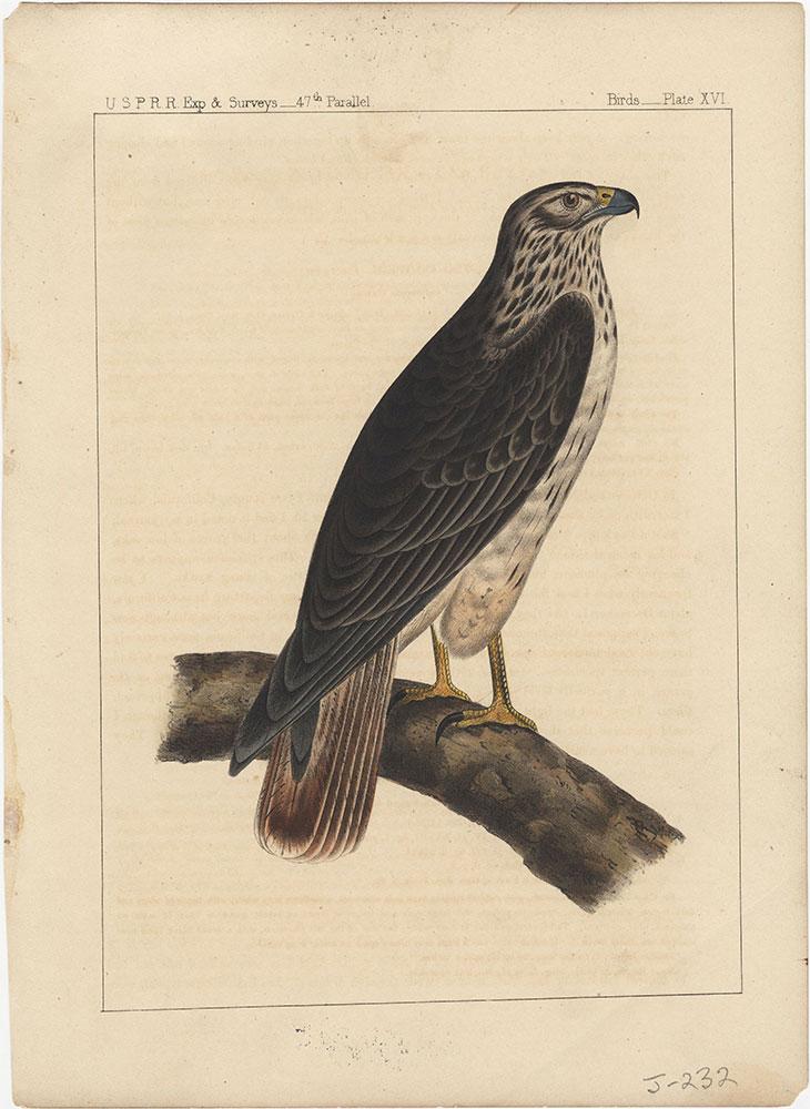 Birds, Plate XVI
