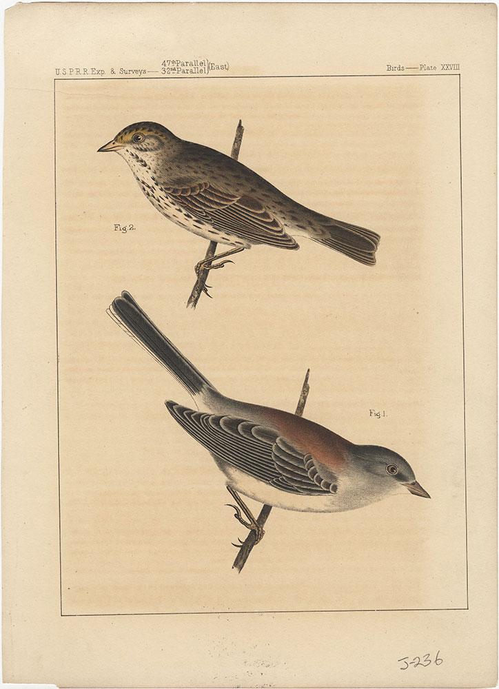 Birds, Plate XXVIII