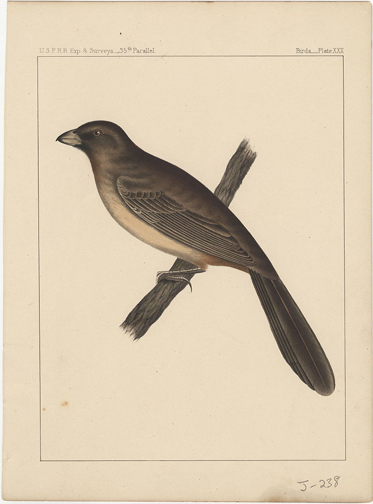 Birds, Plate XXX
