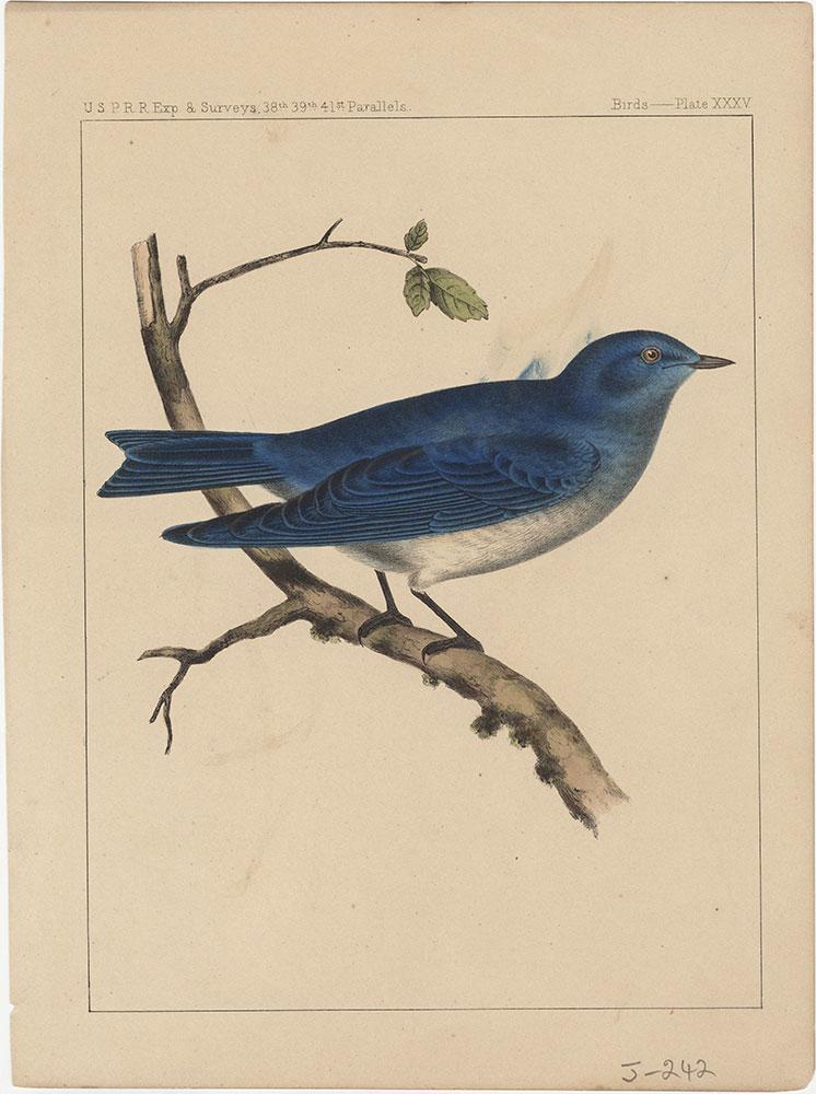 Birds, Plate XXXV