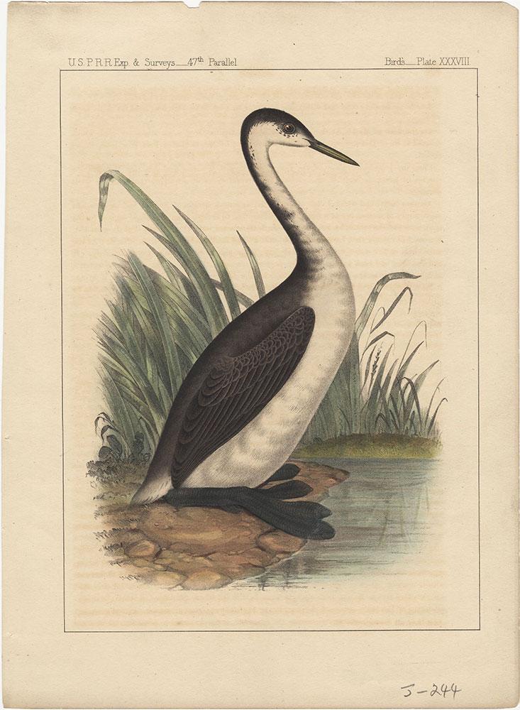 Birds, Plate XXXVIII