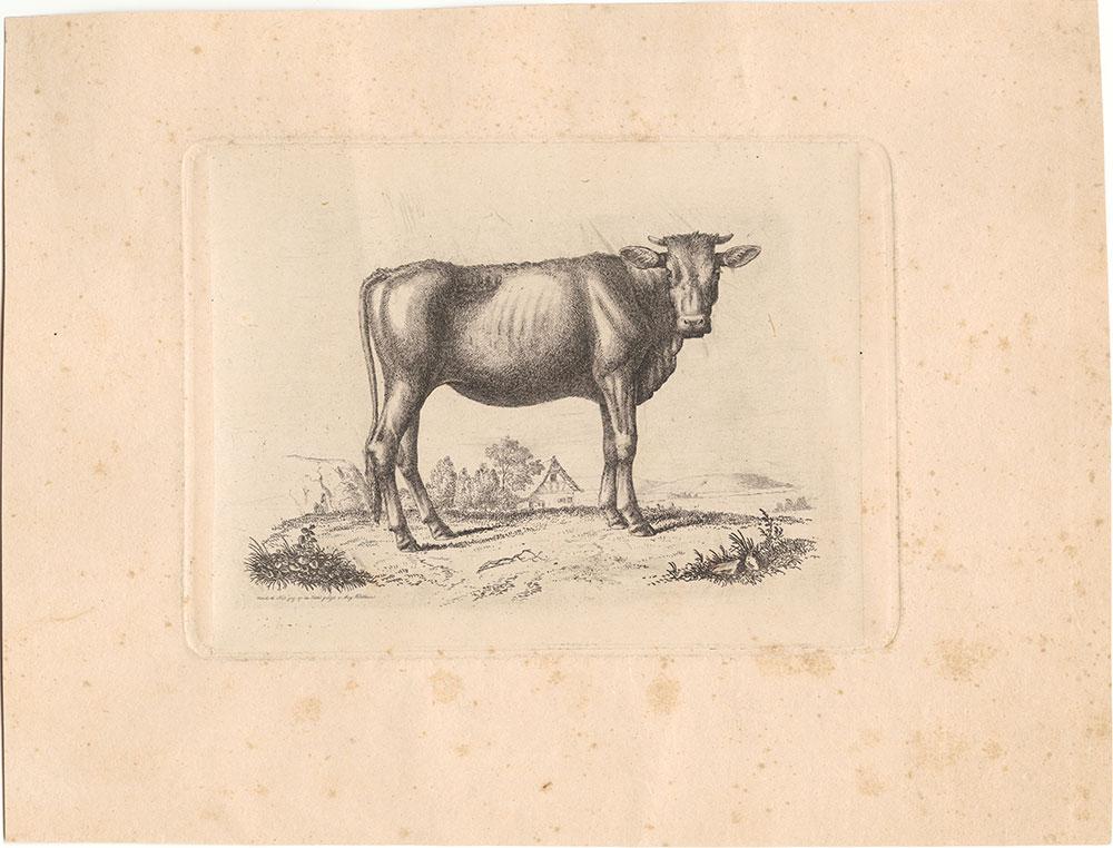 {cow portrait}