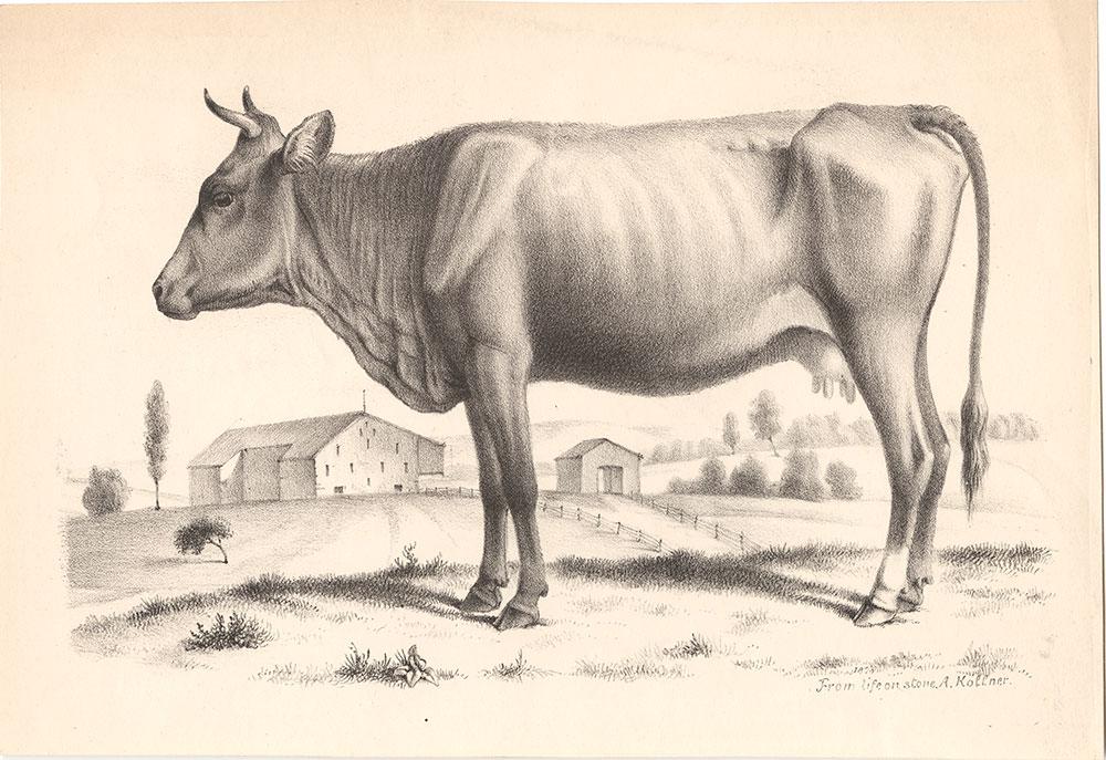 {Cow}